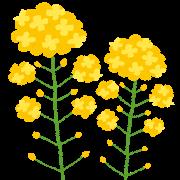 flower_nanohana