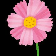 コスモスの開花時期や関東の名所はどこ?